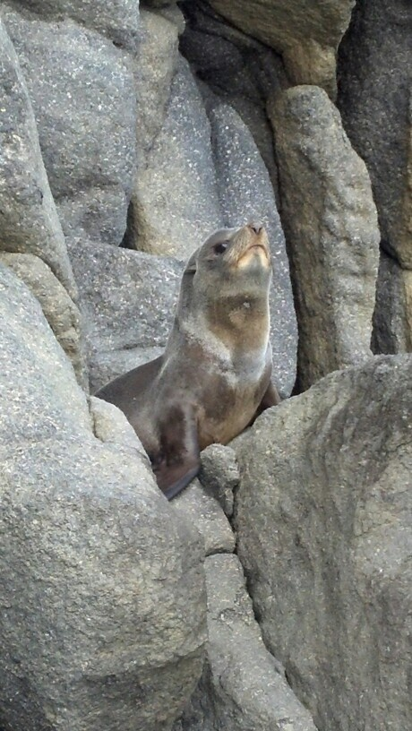 Seal pup posing for a photo at birdlings flat, nz