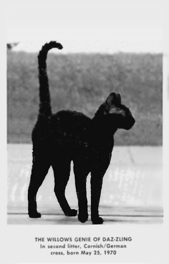"""(1960s) Cornish x German Rex crosses in the '60s. """"The Cornish and German Rex mutations are identical"""" - excerpts from """"THE REX CAT — LONG MAY IT WAVE!"""" by Mable and Charlie Tracy, published in the CFA Yearbook, 1971. """"When the Cornish Rex was bred to the German Rex, all the kittens were curly, for when rex is bred to rex, all kittens are always curly when the mutations are identical. These are the only two known mutations that are identical up to this time."""" http://messybeast.com/german-rex"""