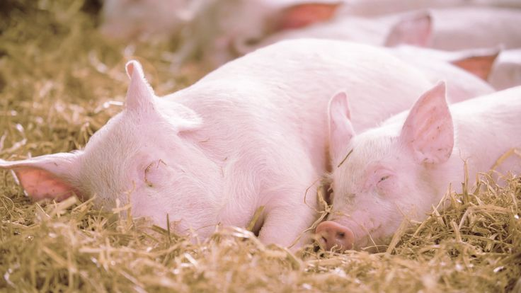 Back at work today? We have just the thing to cheer you up….snoozing pigs! Pigs on RSPCA Assured farms must material such as straw to root around in - and a comfortable place to sleep. Zzzzzz!