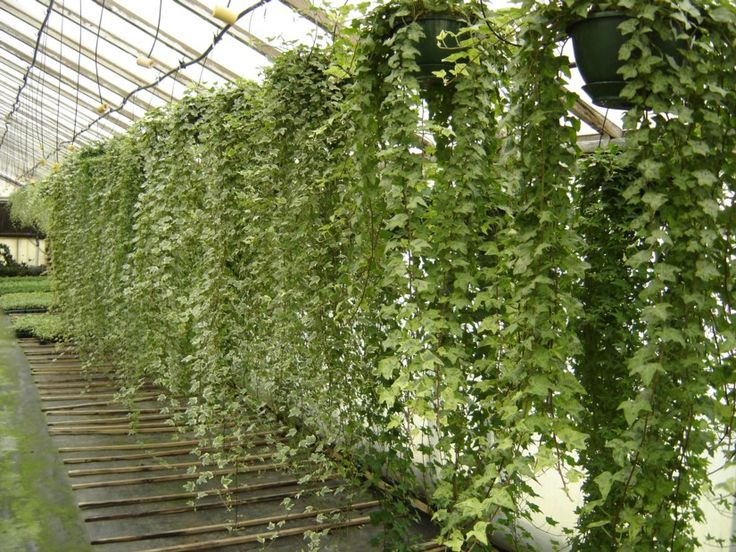 Hanging plants google search green walls pinterest for Edera artificiale per balconi