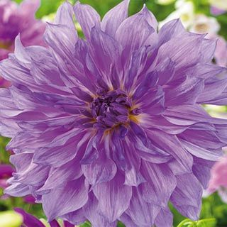 Dinner Plate Dahlia Lavender Ruffles - joining my dahlia section!