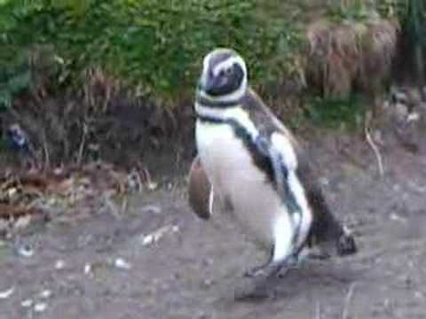 "These cute & funny penguins are playing ""Follow the Leader""."