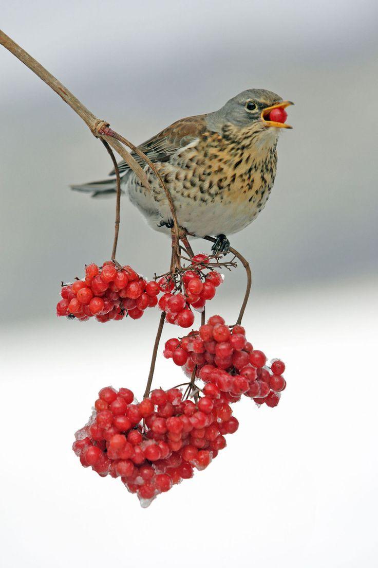 222 best british birds images on pinterest beautiful birds