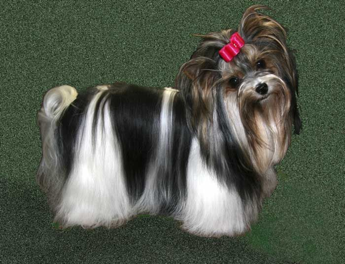 a perfect biewer yorkie