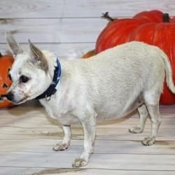 Pictures of Daisy a Chihuahua for adoption in Palm Springs, CA who needs a loving home.