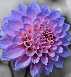 Dahlia flower tattoo awesome ideas 20