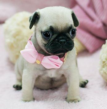 290 Best Cute Pug Pictures Images On Pinterest