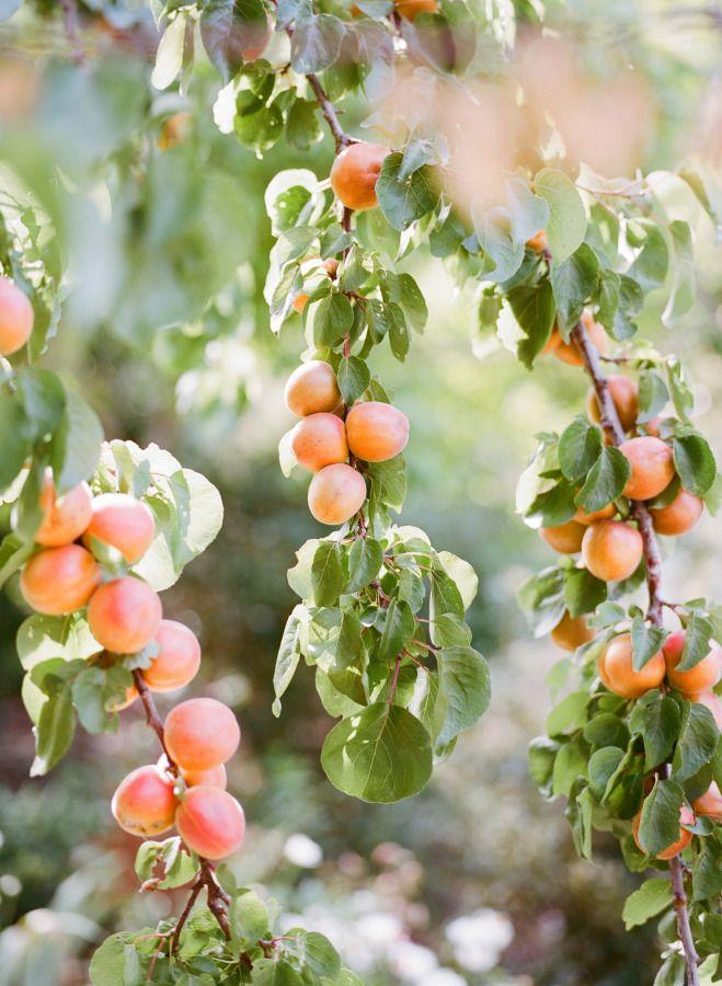Fresh Fruit Trees.