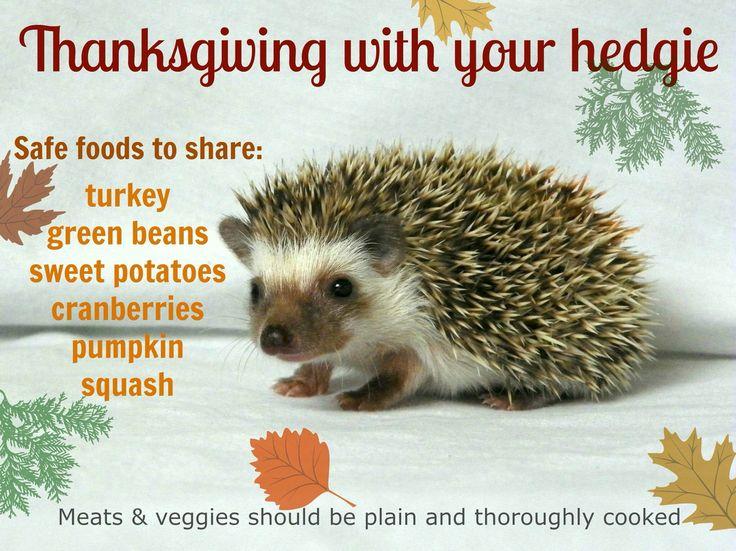 Hedgies love Thanksgiving!