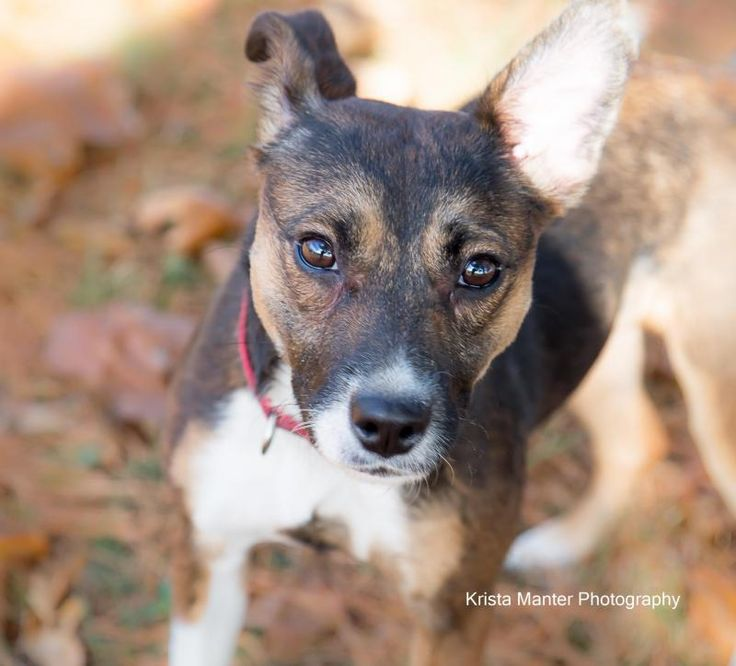MUFFIN is an adoptable Jack Russell Terrier searching for a forever family near Circleville, OH. Use Petfinder to find adoptable pets in your area.