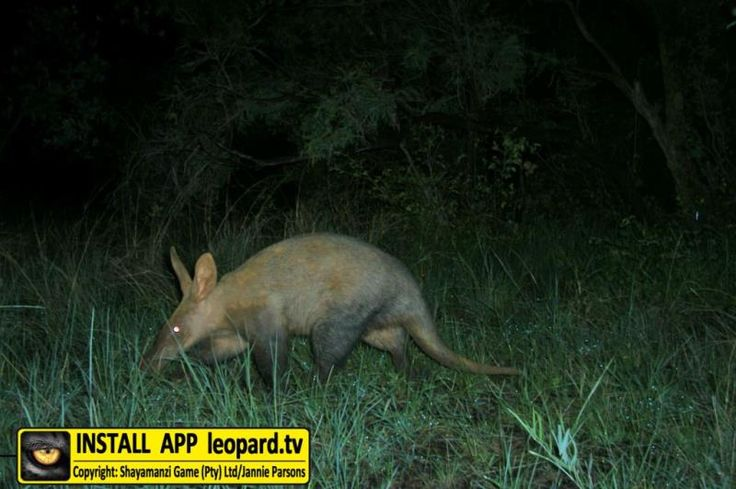 Learn more about the aardvark! #shayamanzi #leopardtv