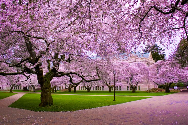 Cherry blossoms on the quad at the University of Washington.