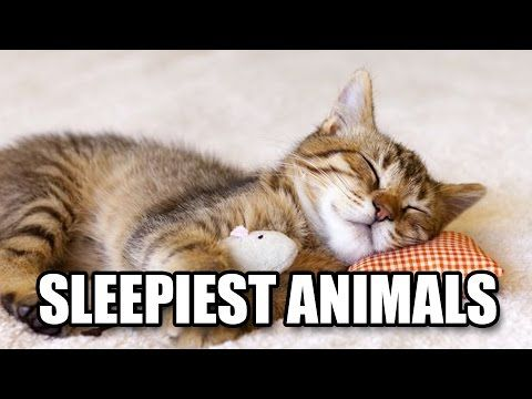 There are animals such as giraffes that need only a few minutes to sleep, while, interestingly, dolphins and whales do not sleep for the first month of their lifes. But, some animals spend much of their entire lives in dreamland. Let us find out more about some of the sleepiest animals in the world!