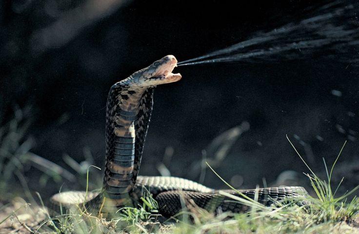 Snakes -- King Cobra, Banded Sea Krait, Reticulated Python, Spider-Tailed Viper, Wonambi Serpent, Diamondback Rattlesnake, Titanoboa, Etc :http://scienceheathen.com/2015/01/30/snakes-king-cobra-banded-sea-krait-reticulated-python-spider-tailed-viper-wonambi-serpent-diamondback-rattlesnake-titanoboa-etc/