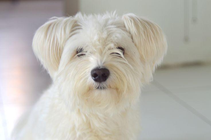 my love Max #maltese #dog #white #cute #dogstagram