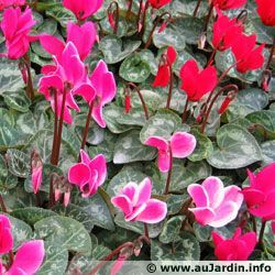 Cyclamen de Perse, Cyclamen des fleuristes, Cyclamen persicum – #Bacafleurspourl…