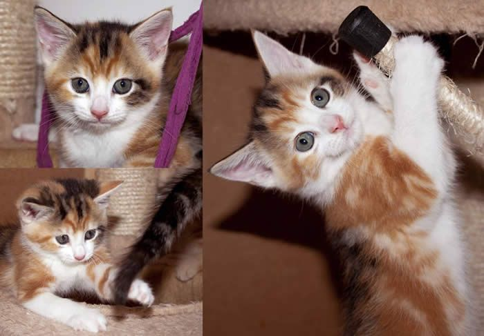 Rachel The Kitten Is Looking For A Home With Another Kitten Or Playful Cat Http Www Manchesterandsalfordrspca Org Uk Cats Htm Cat Adoption Pet Adoption Cats