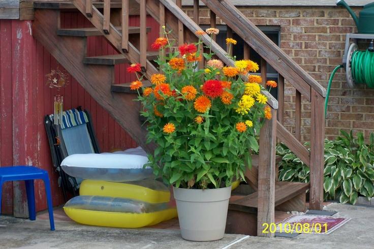 Big Pot Of Zinnias Love It How Does My Garden Grow