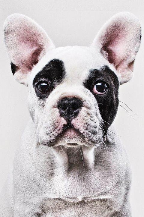 : Awesome Dogs, Dogs Pics, Cute Dogs And Puppies, French Bulldogs, Pet, The Faces, Boston Terriers, Dogs Faces, Bulldogs France