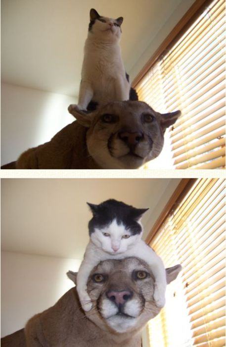 the cat on THE CATFunny Pets, Big Cat, Funny Things, Funny Dogs, Funny Cat, Funny Photos, Mountain Lion, Silly Cat, Animal