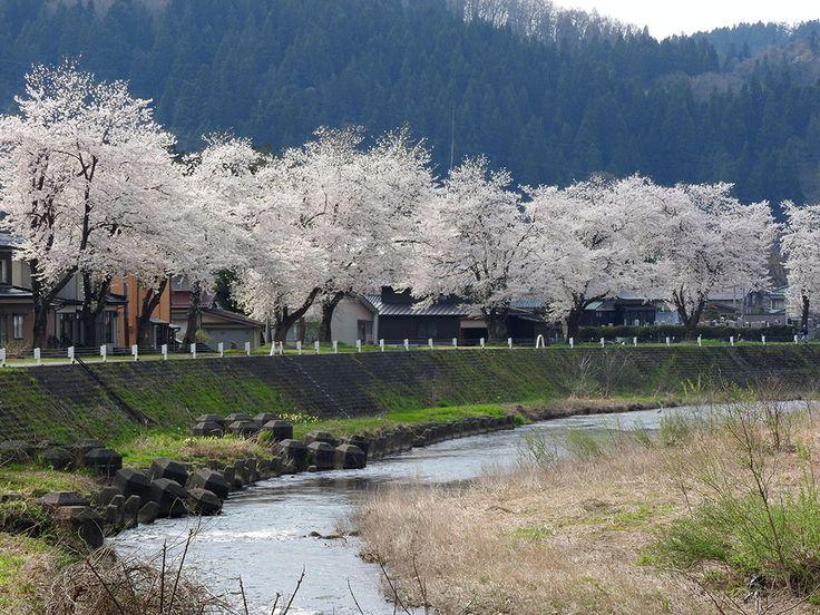 静かな堤防の桜。穴場の桜スポットかもしれない。【黒水堤防の桜:新潟県】