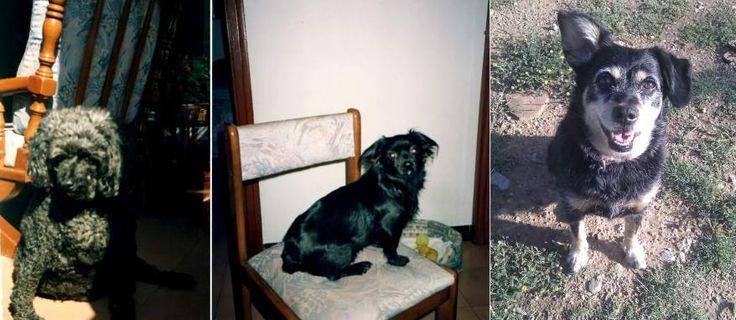 Sé que es el día del perro sin raza, pero no podía dejar a mi primera perra, Isis, una caniche, por todo lo que me dio durante 11 años. Mi segunda perra, Nora, mezcla de caniche y pequinés no se llevaba bien con los niños, pero por lo demás, un amor que nos acompañó durante 16 años.