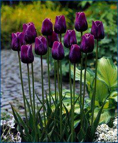 Tulip Cum Laude - Circa 1944, Cum Laude is dark campanula-violet with a white…