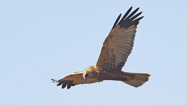 Die männliche Rohrweihe hat markante schwarze Flügelspitzen und einen grauen Schwanz.Die Flügelspannweite der Rohrweihe beträgt bis zu 130 cm, damit zählt sie zu den mittelgroßen Vögeln. Wie für Weihen üblich hat die Rohrweihe einen schlanken Körper, schmale Flügel und einen langen Schwanz. Schaut man sich das Gefieder von Männchen und Weibchen an, so gibt es einige Unterschiede. Die Weibchen sind ziemlich einfarbig dunkelbraun mit cremefarbenem Kopf, Schultern und Mittelflügel. Die Männchen…