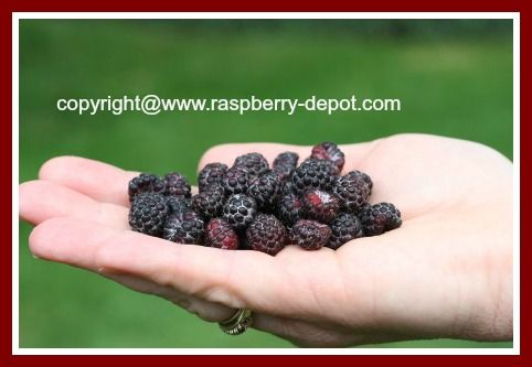 100's of Ideas for BLACK or WILD BLACK or BLACK CAP Raspberry Recipes!!