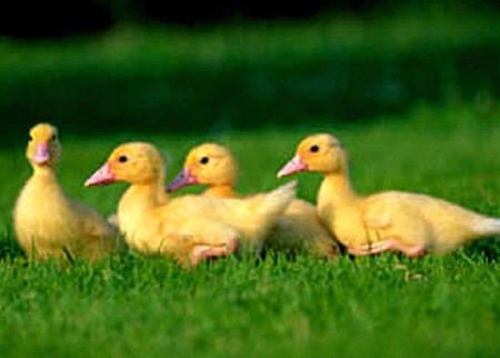 yellow baby ducks walking - photo #22