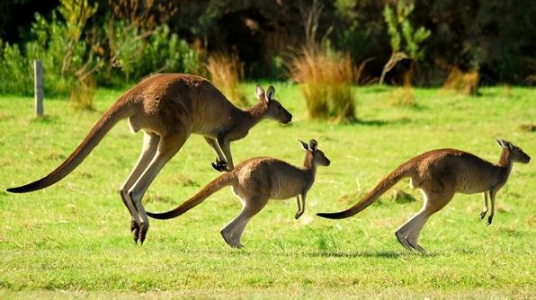 Red kangaroo: The National Animal of Australia