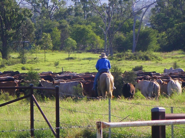 Mustering using horses at Comet