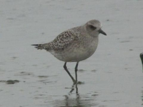 The forgotten grey plover? | Peter Orchard