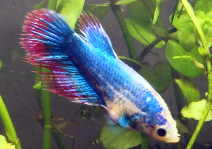 Dragonscale crowntail marble female betta fish blue fish for Female betta fish pictures