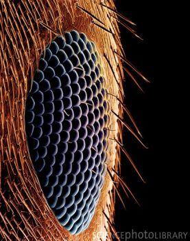 Olho da formiga