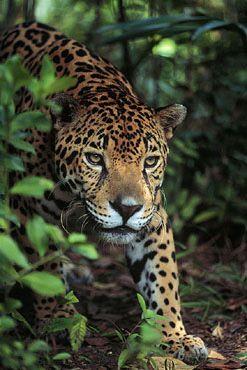Es el jaguar de Costa Rica. Está en el parque Nacional Corcovado. Se puede lo ver en las selvas tropicas.