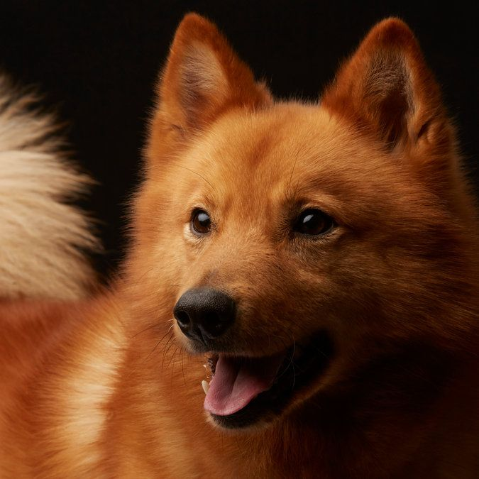 Match Rocket the Finnish Spitz to his owner in the Westminster Dog Show Look-Alike Quiz. (Photo: Fred R. Conrad for The New York Times)