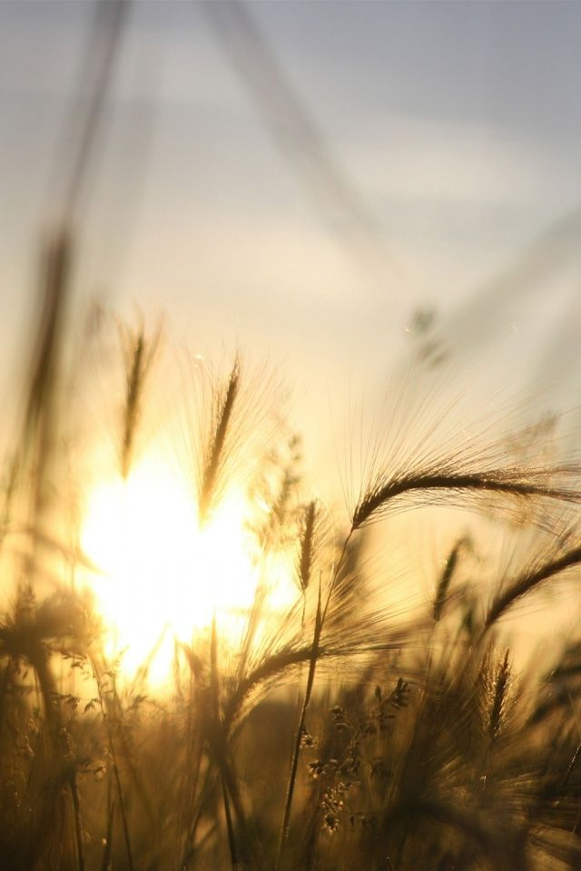 Light; Radiant. The sun is shining radiant light onto the wheat. It is sending out light that makes the wheat shine.