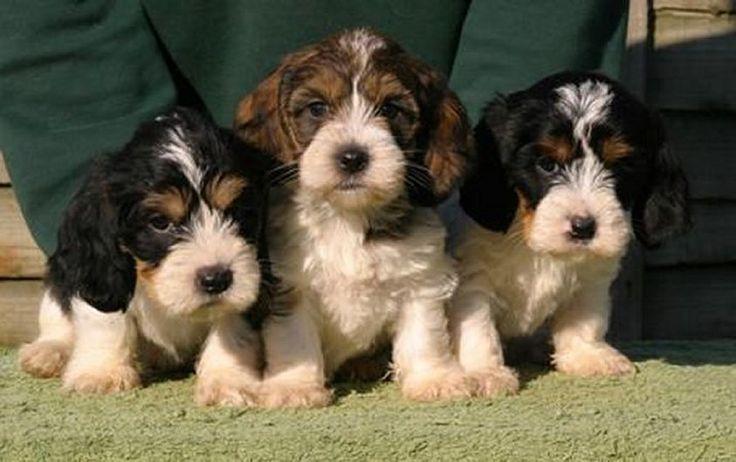 1000 images about petit basset griffon vend en dogs on - Petit basset griffon vendeen breeders toulon ...