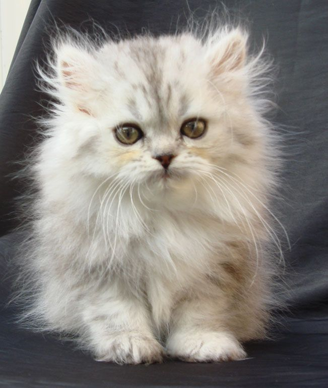 14 best Teacup Kittens images on Pinterest   Kitty cats, Adorable ...