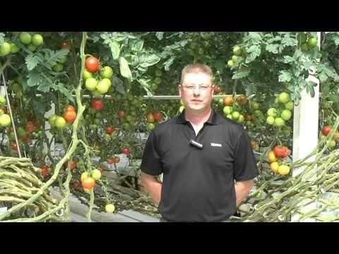 Tomater året om - Gulin Ab Oy -video