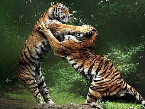 DOCUMENTALES  PELEA DE TIGRES DOCUMENTAL DE ANIMALES,ANIMALES SALVAJES,...
