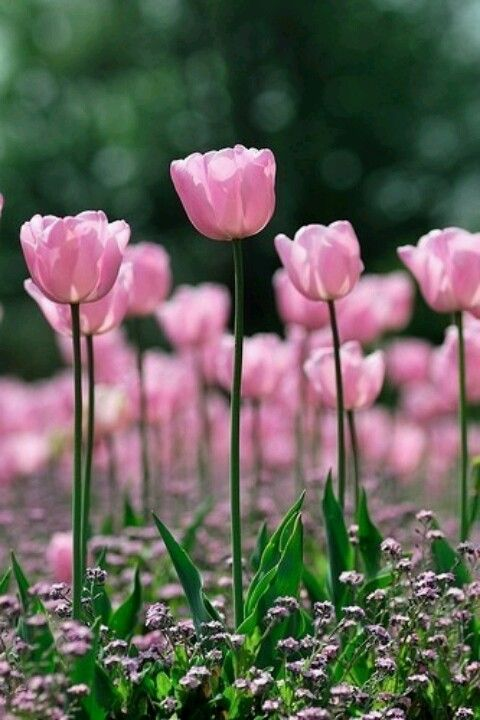 Pink tulips pose prettily!!! Bebe'!!! The pink contrast lovely with the green stem and foliage!!!