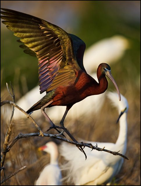 The Glossy Ibis (Plegadis falcinellus) is a wading bird in the ibis family Threskiornithidae. This is the most widespread ibis species, breeding in scattered sites in warm regions of Europe, Asia, Africa, Australia, and the Atlantic and Caribbean[2] region of the Americas.