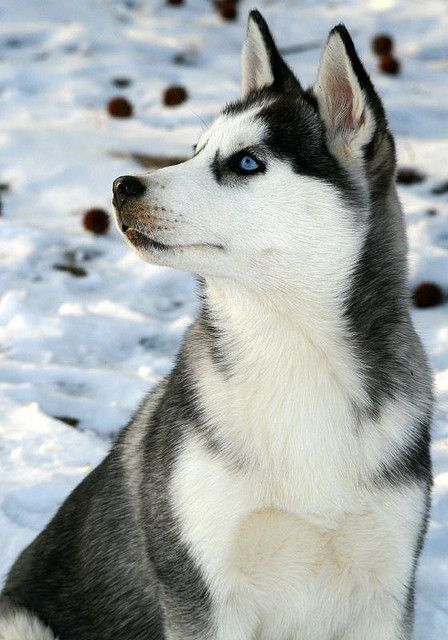 Siberian Husky so cut love those eyes