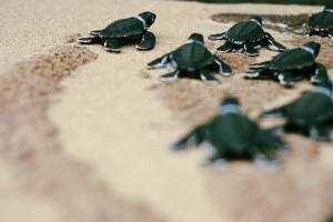 Em alguns períodos do ano, certos trechos de praias ficam interditados para a desova de tartarugas marinhas. Na foto, pequenas tartatugas rumam ao mar na Praia do Leão.