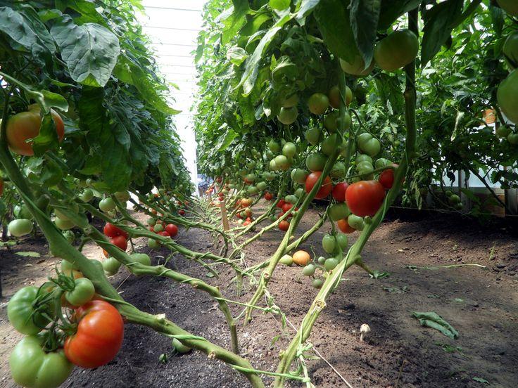 Growfood.com,  Mittleider Gardening Method