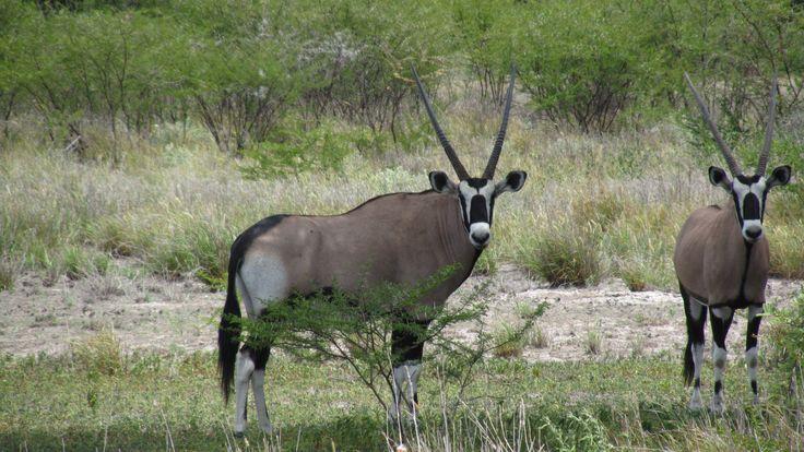A typical scene in the Kalahari - the Oryx  #Oryx #Gemsbok #KalahariGemsbok #Kalahari #Safari #Botswana