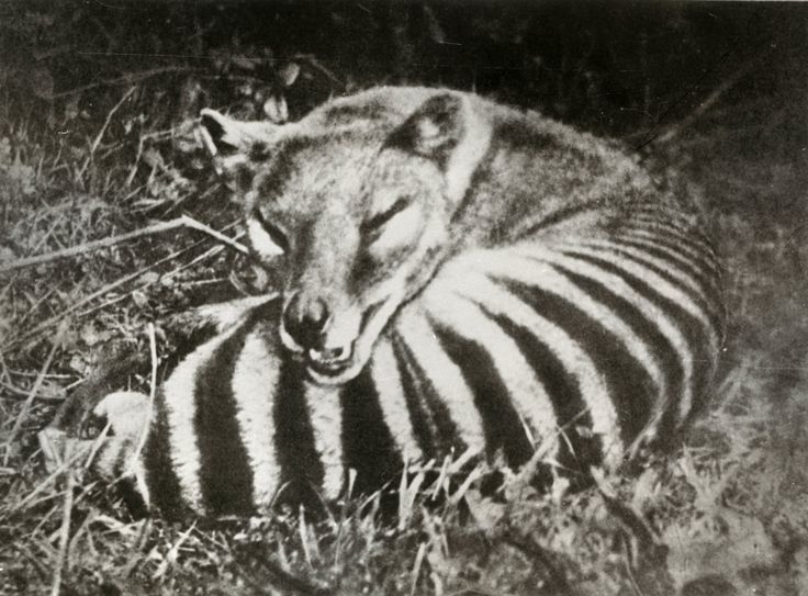 Thylacine, aka the Tasmanian tiger, was a large carnivorous marsupial. Now believed to be extinct, the thylacine was colored yellow-brown to grey, w/dark stripes across its back from shoulders to tail. Limited to Tasmania in recent times, the discovery of fossils in mainland AU suggests the thylacine was once widespread across the continent. Thylacines were perceived as a threat to livestock in Tasmania, & the government introduced a bounty in 1888: one po...