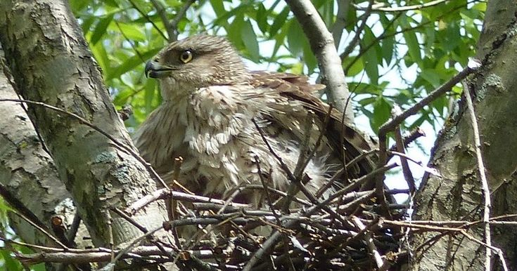 Oiseau-de-proie-Rapace-diurne-Epervier-de-Cooper-Accipiter-cooperii-Cooper-s-hawk-chicken-hawk-quail-hawk